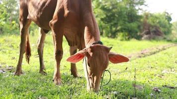 des vaches brunes paissent dans le champ. video