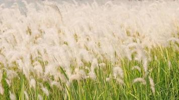 Imperata cylindrica field or Cogon grass and sun flare in evening times and  is moving with wind video