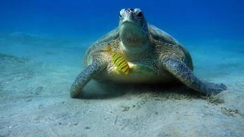 gran tortuga verde en los arrecifes del mar rojo. foto