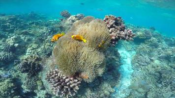 POV underwater view of a scenic coral reef and clownfish fish. video