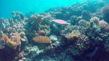 Underwater view of a maldivian sea turtle swimming over a coral reef. video