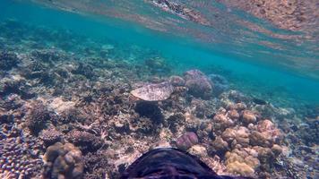 POV underwater view of a maldivian sea turtle swimming over a coral reef. video