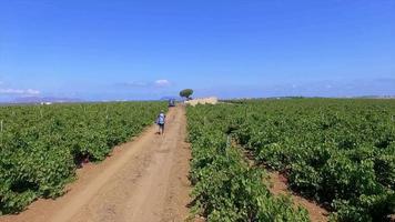 Aerial view of a vineyard field. video