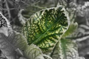 Variegated perennial flower leaf photo
