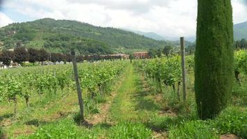 Rows of grapes growing at a vineyard field in Italy, Europe. video