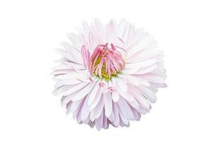 flor rosa sobre fondo aislado foto