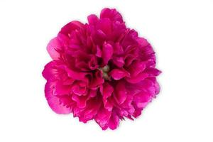 Bud of peony flower bright red or purple in artificial light, isolated on white background photo