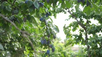 gros plan de prunes sur un arbre dans un jardin. video