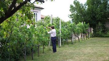 retrato de um professor professor aposentado em um jardim, verificando uvas em uma videira. video