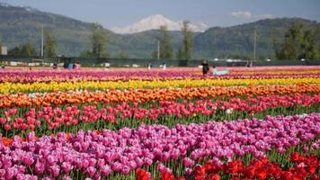 pastellfarbene Tulpenblumenfelder, die in Pflanzen wachsen. video