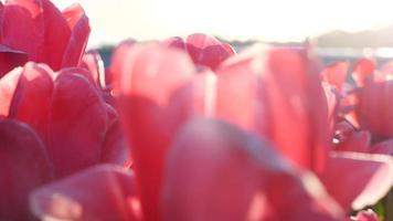 Pink and purple tulip flowers fields growing in crops. video