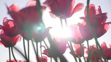 Tulip flowers sun lens flare growing. video