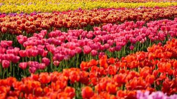 Orange tulip flowers fields growing in crops. video