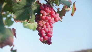 A bunch of grapes growing on a vine at a vineyard in Greece. video