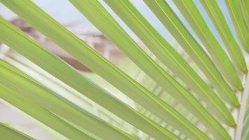 fermer les détails d'une feuille de palmier d'un palmier. video