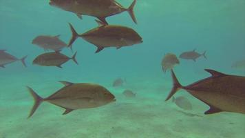 A school of fish feeding in a frenzy over a coral reef of a tropical island. video