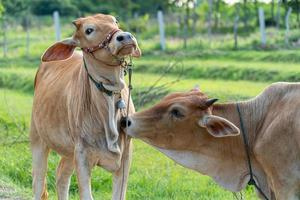 la vaca marrón en el pasto estaba ayudando a limpiar el pelaje de la otra vaca enfoque selectivo enfoque suave foto
