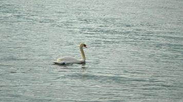 A white swan swims floating on Lake Como, Italy, Europe. video