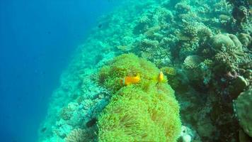 Clown fish swim over the coral reef of a tropical island. video