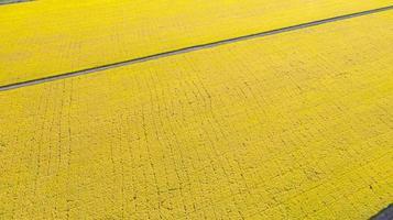 Vista aérea superior del campo de arroz amarillo desde arriba foto