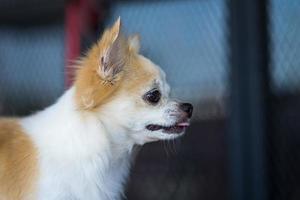 Perro chihuahua de pelo largo en la mesa foto