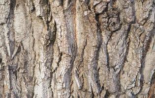 Primer plano de la textura del fondo de una vieja corteza de árbol de roble foto