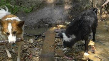 cachorros molhados brincando em um riacho depois de correr e caminhar em uma trilha. video