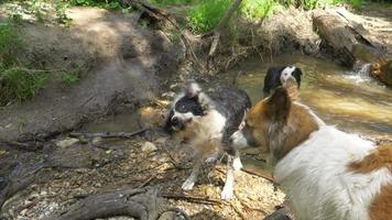 um cachorro sacode para ficar seco depois de nadar em um riacho. video