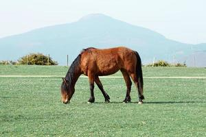 beautiful brown horse portrait in the meadow photo