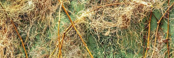 Fondo de un muro de hormigón en el jardín, cubierto de hiedra. foto