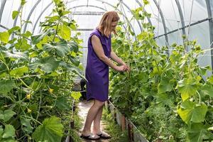 mujer joven está atando pepinos en el jardín. Plántulas de pepino verde en invernadero, cuidado para una buena cosecha. foto