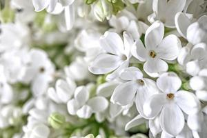 Background from blooming branches of white lilac. Spring photo
