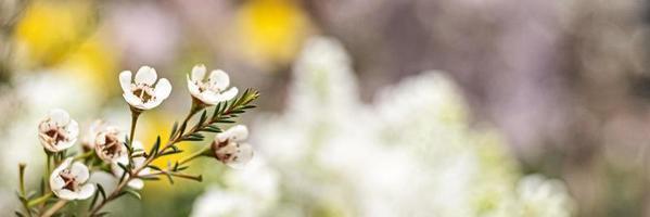 Arbusto en flor de erica con pequeñas flores en el jardín. tiempo de primavera bandera. foto