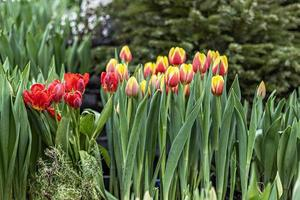 tulipanes amarillo-rojo en un parterre de flores en el jardín. primavera. florecer foto
