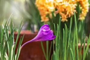 flor de azafrán púrpura en un jardín floreciente de primavera. foto