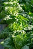 granja de vegetales hidropónicos frescos foto