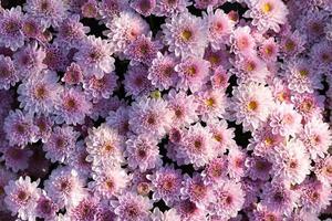 Cerca de un ramo de flores de crisantemo rosa en una maceta en el jardín foto