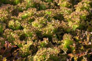 hojas de lechuga fresca ensaladas granja hidropónica vegetal foto