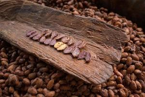 Choosing raw cacao beans with hand of man photo