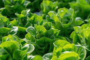 Fresh Butterhead lettuce leaves Salads vegetable hydroponics farm photo