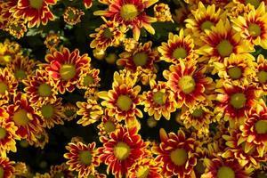 crisantemos en el jardín de otoño foto