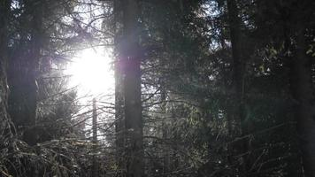 les arbres d'une forêt sont traversés par le soleil. video
