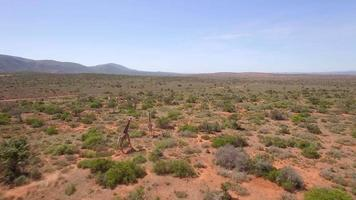 Aerial travel drone view of Giraffes in Swartberg, South Africa. video