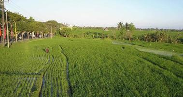 Aerial drone view of a farmer in rice paddy fields local farming. video