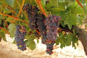 Cluster of raw grape hanging in a vine, grape bush photo