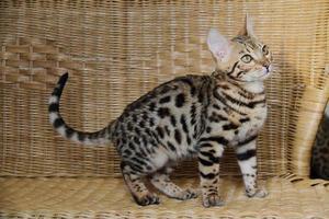 Bengal cat little baby pet photo
