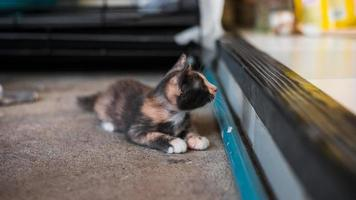 Cute short hair asian kitten cat photo