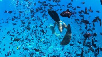 Underwater diving snorkeling with sharks in Bora Bora tropical island. video