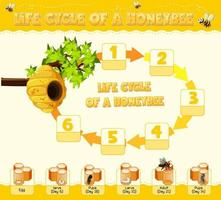 Diagram showing life cycle of Honey Bee vector