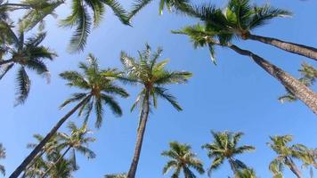 Palm trees provide shade in Maui, Hawaii. video